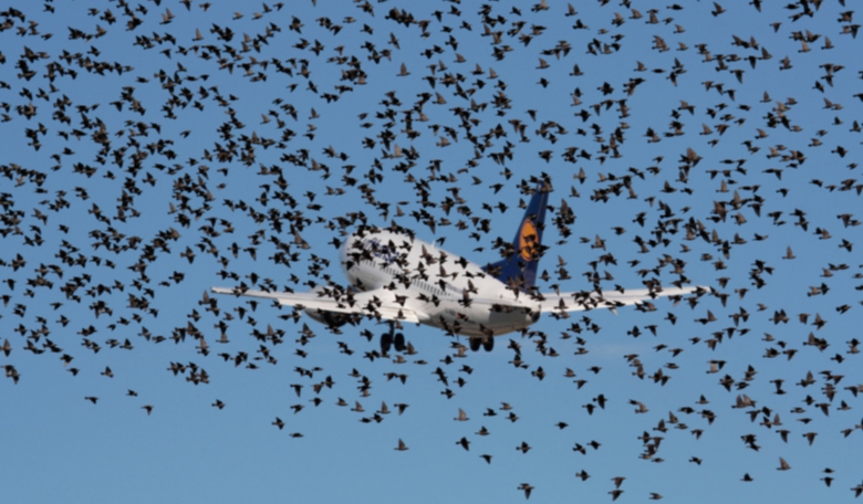 Lufthansa Boeing 737-500 obscured by a flock of starlings on takeoff. Credit: vocativ.com