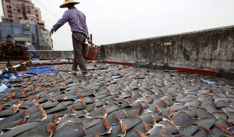 Demand for shark-fin soup drives global poaching and smuggling.