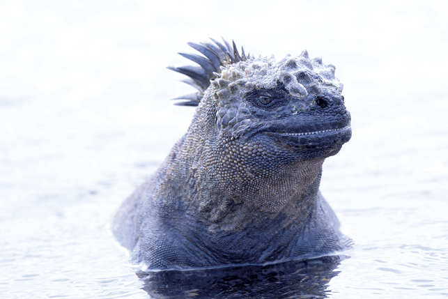 Marine iguanas have many adaptations for the life aquatic: flattened tails to help them swim
